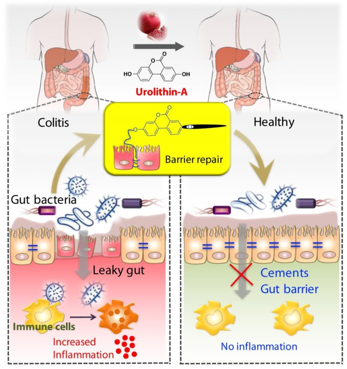Illustration showing tightening of gut barrier cells and reduced inflammation due to UroA, by Praveen Kumar Vemula, Ph.D., Institute for Stem Cell Biology and Regenerative Medicine, India, and Venkatakrishna Jala, Ph.D., UofL